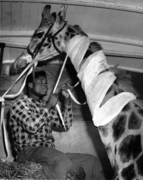 Giraffe gets into travel togs, Harringay, 1955