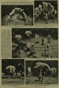 To Appear in Tom Arnold's Harringay Circus: Doris Arndt and Her Twelve Polar Bears