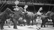Elephants at the Harringay Circus, 1951
