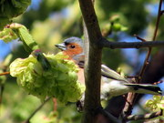 Chaffinch in Elm tree, Finsbury Park