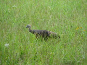 One of the many Turkey's in Cades Cove
