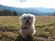 Lhasa enjoying a day in Cades Cove