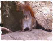 ramsey squirrel
