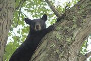 lawson bear