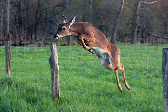 Cades Cove Deer