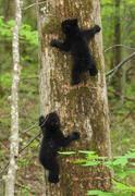 Bear cubs at Roaring Fork