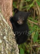 Bear cub at Roaring Fork