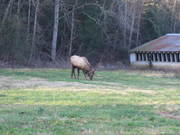 Elk near our new cabin in Cosby (1-08)