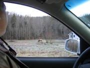 Elk on S. Hwy 32, Cosby