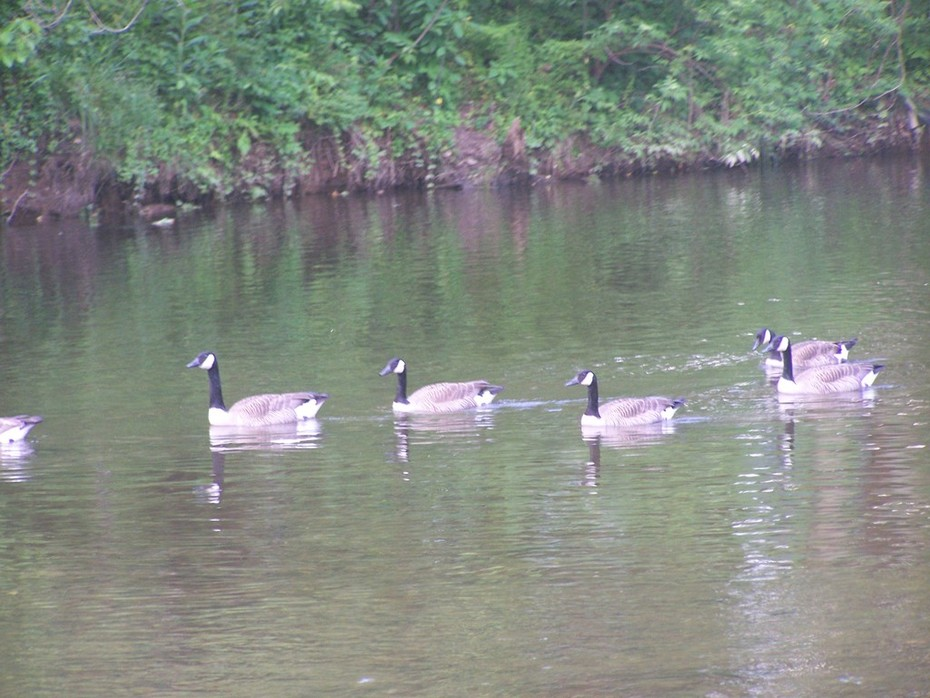 Geese on Little Pigeon River.