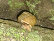 Correll Branch Snail