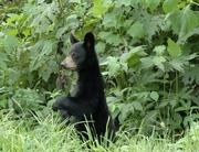 ! Bear Cub Standing