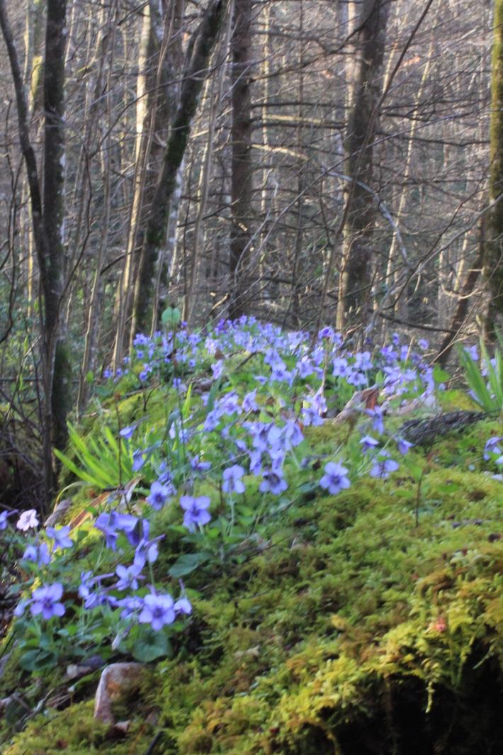 Porter's Creek, Violet covered log