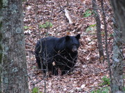 Jake's Creek Trail Bear