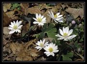 Bloodroot  (my favorite spring flower)