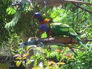 Rainbow Lorikeets in my garden