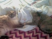 puffy and chicken the Zen cats
