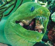 Green+Moray+Eel