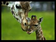 GiraffeBaby