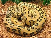 jag snake