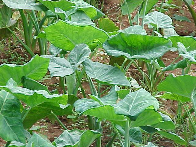 Planta de mafafa o malanga - AGRO 2.0