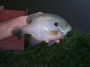 Southeast U.S. bluegill folks.