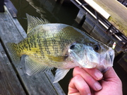 Dock Crappie on the Blade!