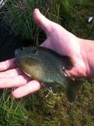 green sunfish?