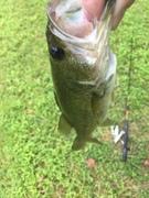 Invasive Species aka Largemouth Bass