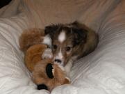 Vicious dog kills fox