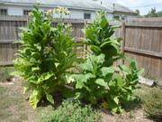 Native Tobacco Plants for Sacred Pipe Rites