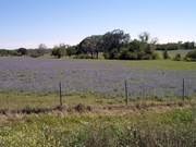 Bluebonnets in Brehman