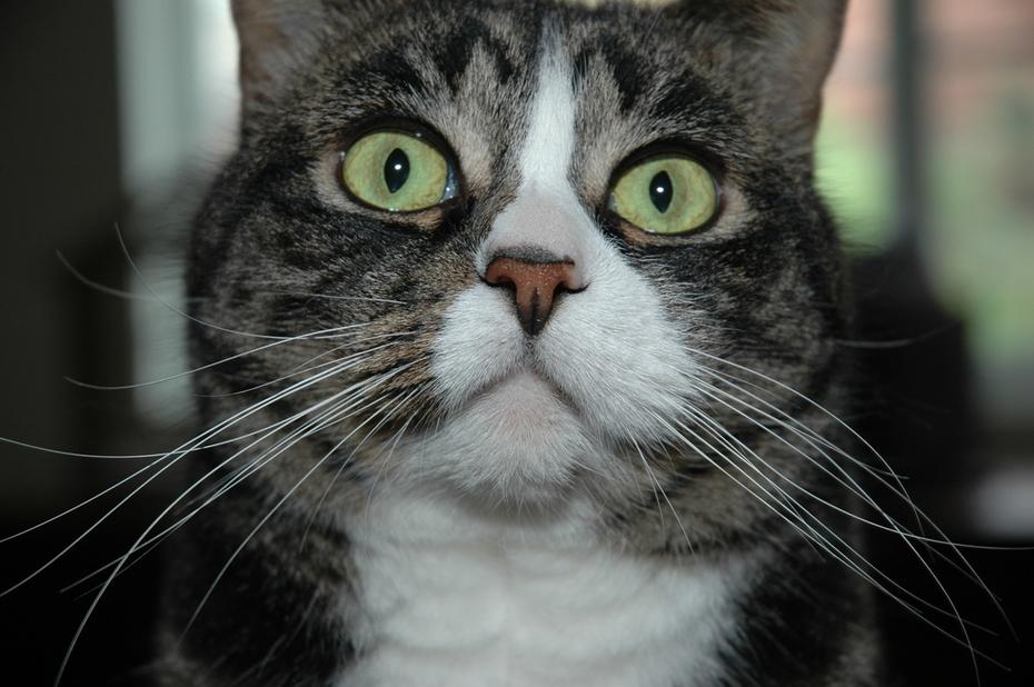 Budola (Boo-doh-lah) Kitty