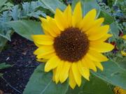 Our Little Sunflower