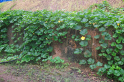 pumpkins growing down the wall