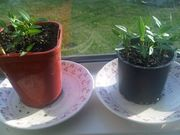 chili seedlings