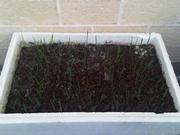 Garlic bulbils planted Jun11.jpg