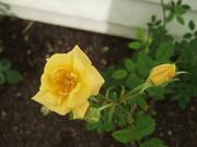 Miniature rose Old Yella