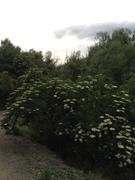 A profusion of elderflowers