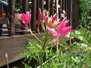 Cleome/Spider flower