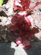 Lettuce Daniella