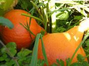 Red Kuri Pumpkin still growing