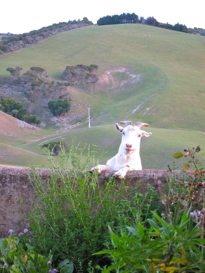 Church Bay Farm visitor