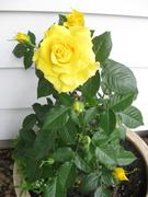 Freesia rose grown from a cutting