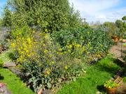 broadbeans & seeding kale greens