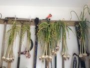 First of the 2013 garlic harvest