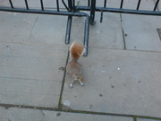 Πεινασμένο σκιουράκι.MANHATTAN, APRIL 2011.