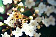 αχ! μελισσούλα...μελισσάκι...