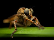 The Assassin fly...