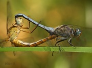Mating of the dragonflies